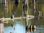 Blue heron and an alligator on a log