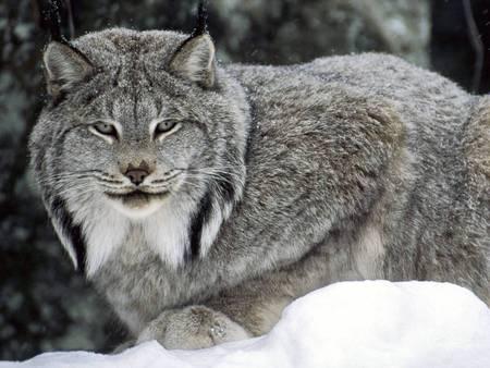 Canadian lynx - lynx, canadian lynx, winter, cat, canada
