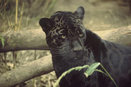 Black Jaguar Cats Animals Background Wallpapers On Desktop Nexus Image 481250