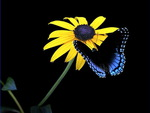 The daisy and a butterfly
