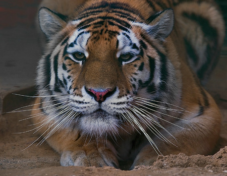 The Tiger - art photo, nice, alone, tiger