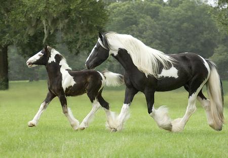 Er sucht sie cavallo