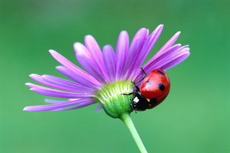Ladybug - ladybug, germany, bavary, flower