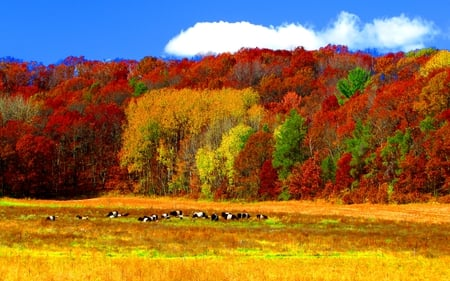 Autumn Colors - red, colorful, autumn, grass, woods, autumn leaves, yellow, beautiful, clouds, leaves, splendor, green, beauty, cows, forest, cow, lovely, view, colors, red autumn, sky, trees, autumn colors, peaceful, nature, field, landscape