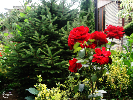 Red Flowers - red, green, flower, nature, beautiful, iran, high quality, natural