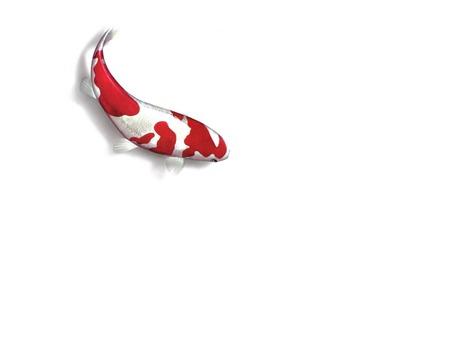 Koi Fish Art - fish, aquatic animals, art, koi