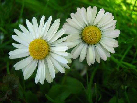 Bele rade :)) - flower, spring