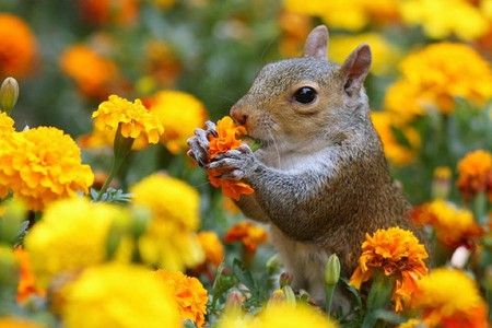 Squirrel in Flowers - flowers, beautiful, squirrel, picture