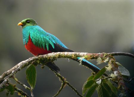 Golden Headed Quetzal - beautiful, rainforest, tropical, animals, birds, plummage, quetzal