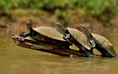 Collective Crossing - turtles, funny, reptiles, animals