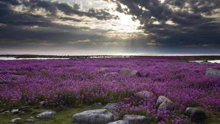 Fireweed Hudson Bay - fireweed, ocean, flowers, nature, beautiful, sunset, island, clouds