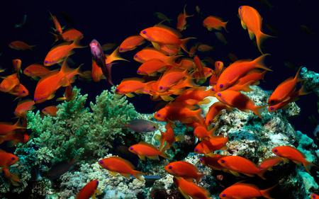 Sea of Orange - beauty, water, vibrant, colour, tropical, irridescent, fish, ocean, coral, bright, nature