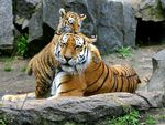 Tiger baby with tiger mother