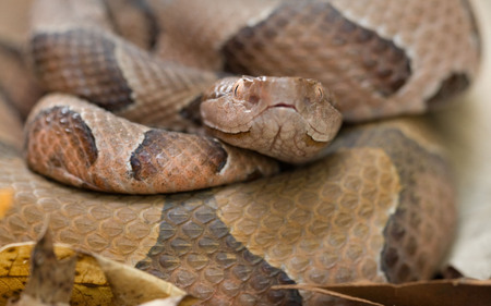 Ozark Copperhead Snake - animal, poisenous, reptile, snake