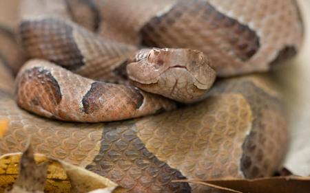 Ozark Copperhead Snake - animal, poisenous, reptile, snake