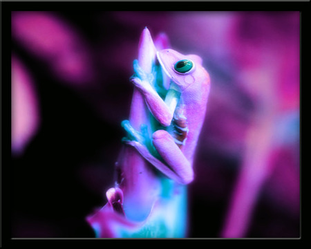 Colorful Froggy - frogs, art, tree frog, manipulated, reptiles, animals