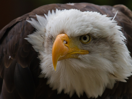 EAGLE - eagle, respectfull, eyes, gorgeous