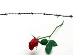 Barbed Wire and Rose 2