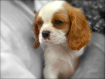 Cavalier King Charles Puppy Dog