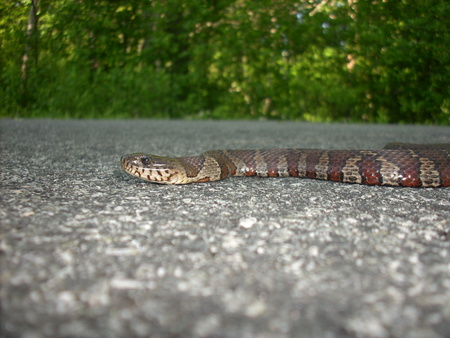Snake at Great Swamp, R.I. - stripes, reptiles, miscelaneous, snake
