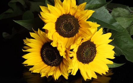 Sunflower trio - yellow, sunflower, nature, flower