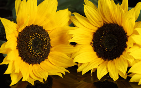 Big sunflowers - sunflower, nature, yellow, flower