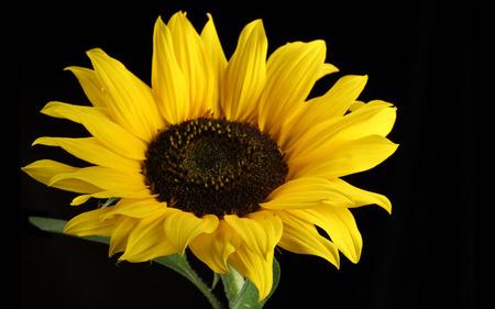 Pretty sunflower - sunflower, nature, black, flower, yellow
