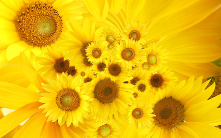 Yellow sunflowers - yellow, sunflower, nature, flower