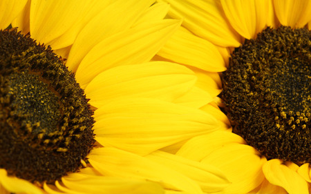 Yellow petals - yellow, sunflower, nature, flower