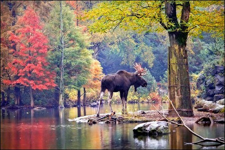Moose in Forest - forest, moose, colors, beautiful, picture