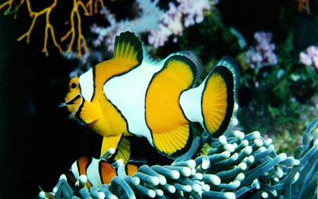 The-Clown-Fish - animal, oceanlife, fish, underwater