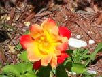 Tequilla Sunrise Rose