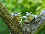 Frogs on Tree