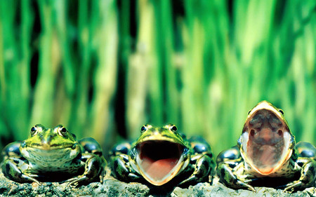 Concert - frogs, nature, green, animal