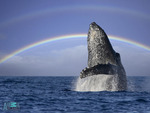 A humpback whale breaching under a rainbow