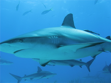 Sharks - shark, bahamas, diving, underwater