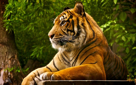 ROYAL PREDATOR - stripes, predator, bengal, tiger, wild, cat, carnivore, royal