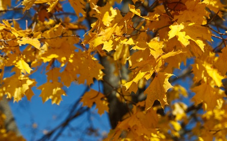 Golden Leaves - leaf, yellow, fall, leaves, gold, tree, autumn