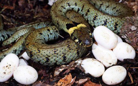 Snake-Eggs - reptile, eggs, poisen, snake