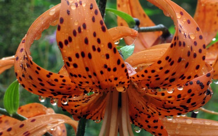 Tiger Lilly - spotted, lillies, orange, tiger lilly, flowers, lilly