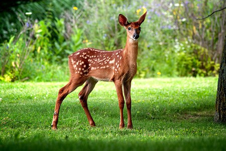 Wild Deer - picture, deer, beautiful, wild