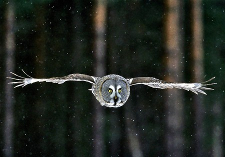 Great Gray Owl Birds Animals Background Wallpapers On
