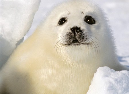 Baby Harp Seal - fuzzy, snow, cute, seal
