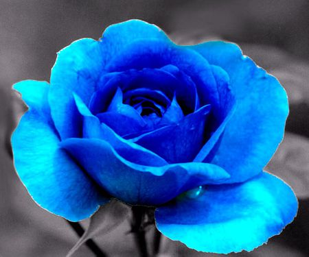 BLUE ROSE - beautiful, rose, blue, elegant