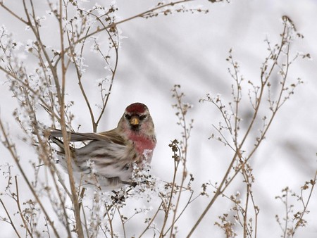 bird in winter - birds, snow, winter, animals