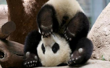 Naughty-Baby-Panda-Bear - naughty, baby, bear, panda