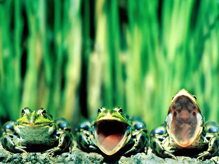 funny frogs - frogs, funny, green, animals