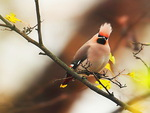 Pretty Waxwing
