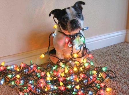 boston tangled in cmas lights - Tangled Christmas Lights