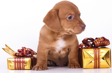 A Beautiful Gift - pretty, box, beautiful, adorable, magic, xmas, animal, sweet, dog face, photography, puppies, beauty, face, animals, dog, puppy, present, lovely, holiday, christmas, colors, gift, dachshund, cute, pet, paws, merry christmas, eyes, gifts, dogs